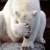 До чого сниться білий ведмідь: про які події попереджають ці сни