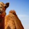 До чого сниться верблюд: тлумачення значень сну найпопулярнішими сонниками