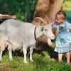 Козяче проти коров`ячого. Яке молоко корисніше для здоров`я?